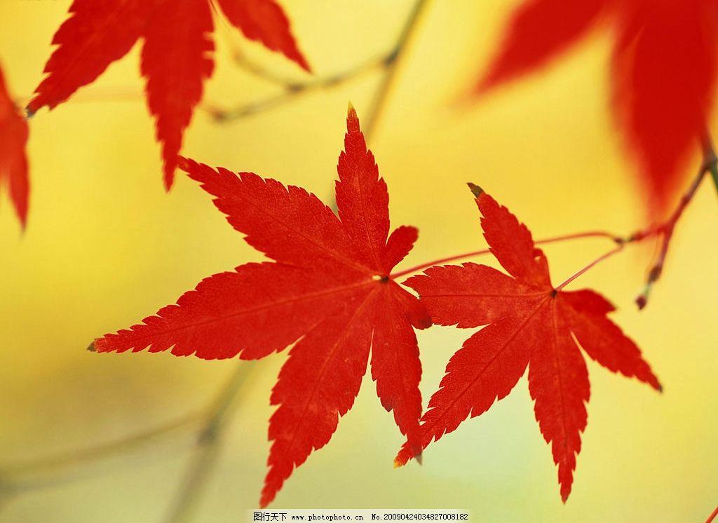枫叶 红叶 树叶 秋天 自然景观 自然风景 摄影图库 300dpi jpg