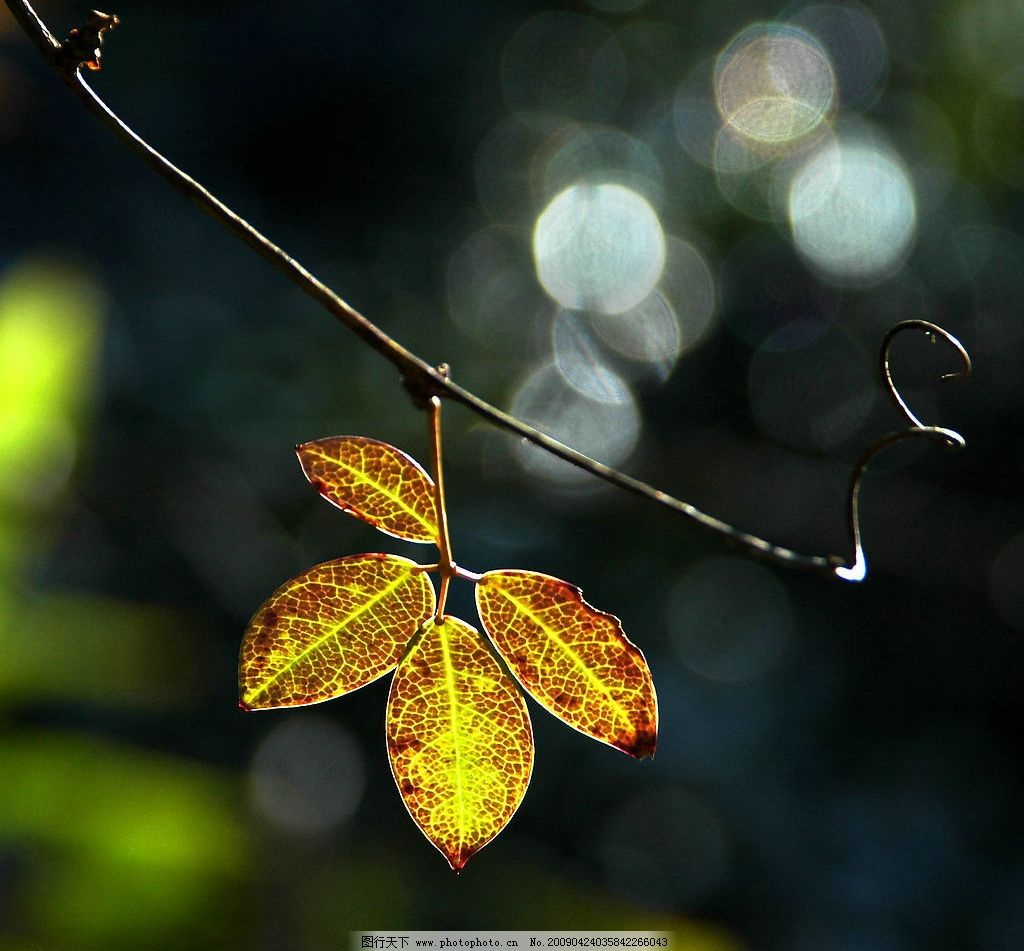 一片叶子 树叶 光 影 金黄 秋天 生物世界 树木树叶 摄影图库 300dpi