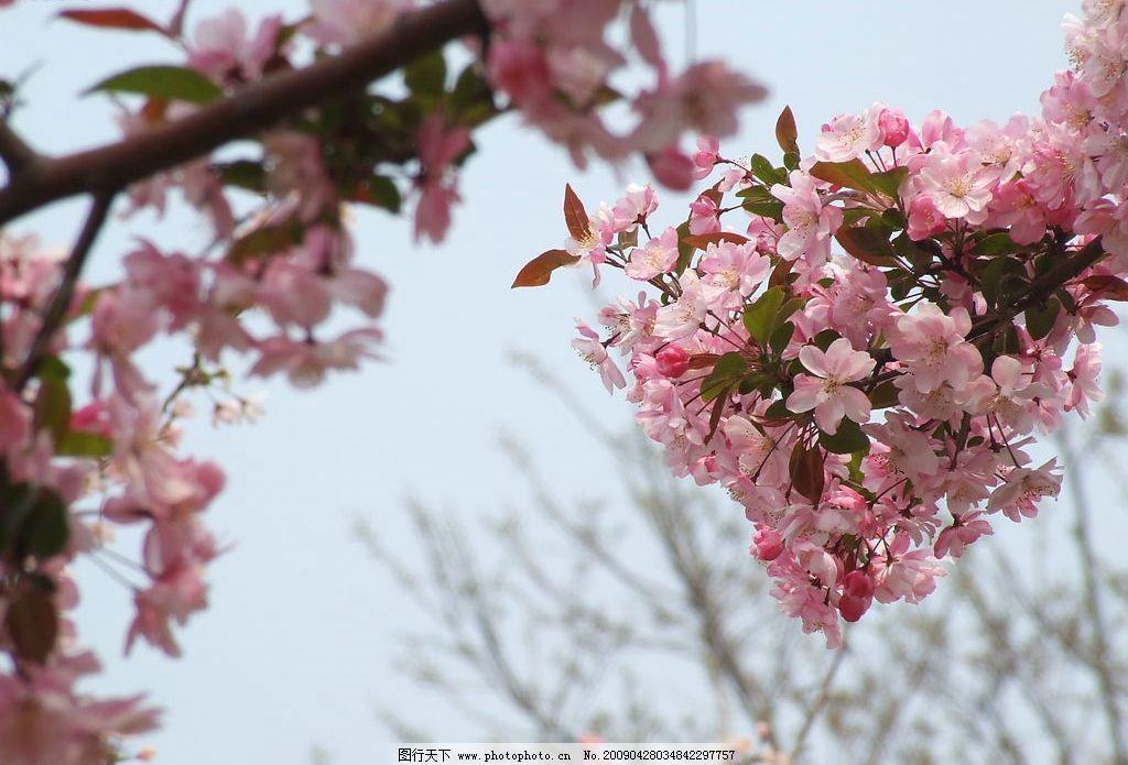 樱花 春天 自然景观 自然风景 摄影图库