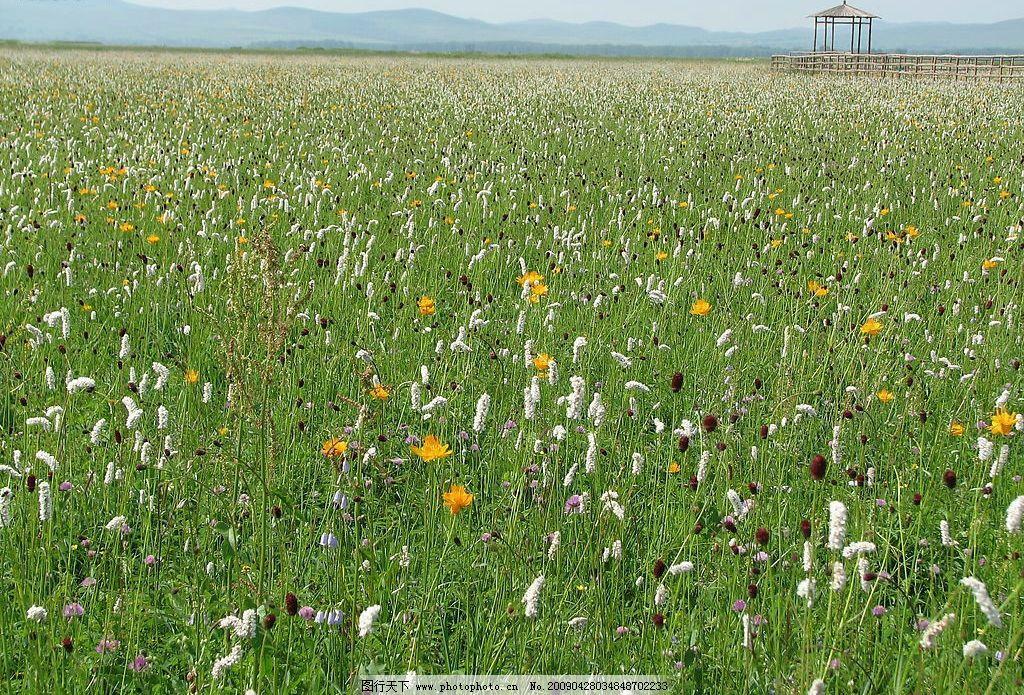 沽源五花草甸3 壩上 草原 濕地 金蓮花 五花 沽源 自然景觀 自然風景