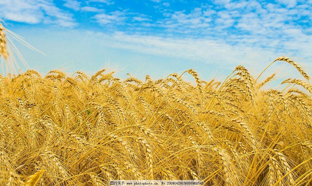 秋天 麦穗 成熟 稻谷 金黄 黄色 金色 麦子 食物 摄影 旅游 风景 漂亮