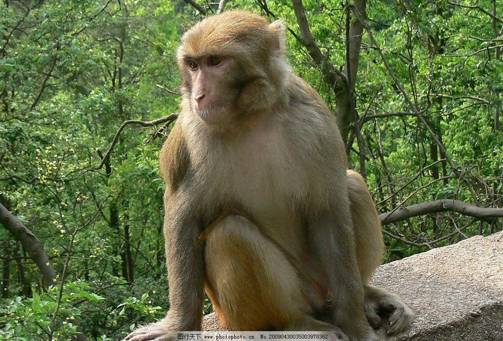 野生猕猴 贵阳黔灵山野生猕猴 生物世界 野生动物 摄影图库 72dpi jpg