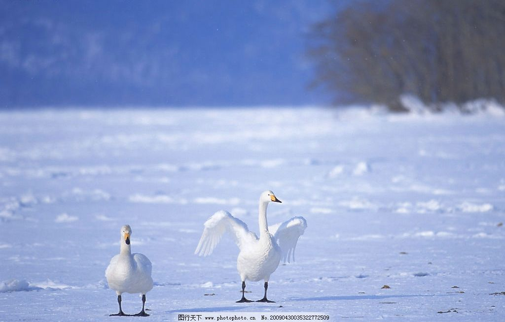 一对天鹅 美丽的风景 实物写真 美景 天鹅卵石 公园 生物世界 鸟类