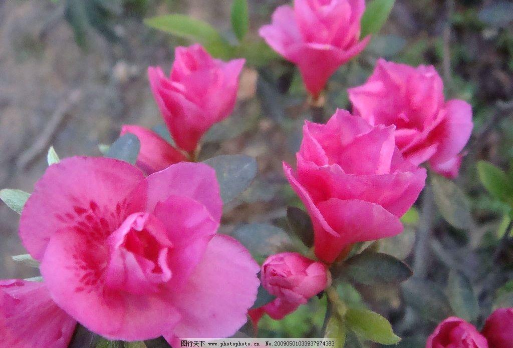 杜鹃花 风景 高清 红色 杜鹃 花朵 旅游摄影 国内旅游 摄影图库 72dpi