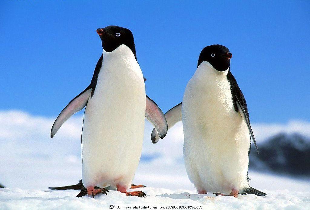 企鹅 憨厚 可爱 生物世界 野生动物 摄影图库 72dpi jpg