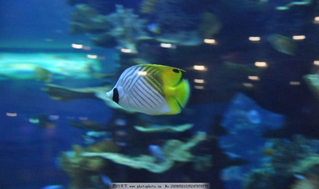 青岛海底世界丝蝴蝶鱼 海底世界 丝蝴蝶鱼 人字鱼 海洋生物 青岛 生物