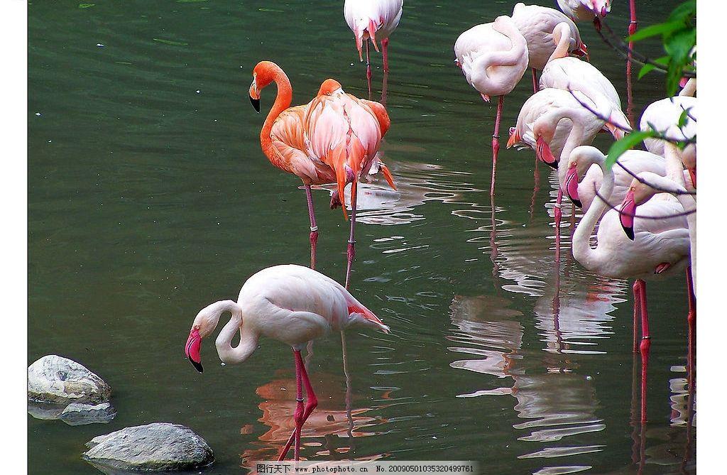 非洲火烈鸟 大自然 景观 景象 生物 湖泊 池塘 动物 鸟类 生物世界