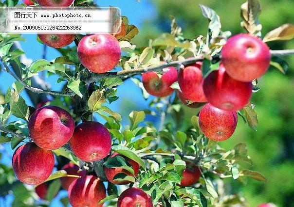 枝头苹果 枝头苹果免费下载 苹果树 水果 新鲜 图片素材 风景生活旅游