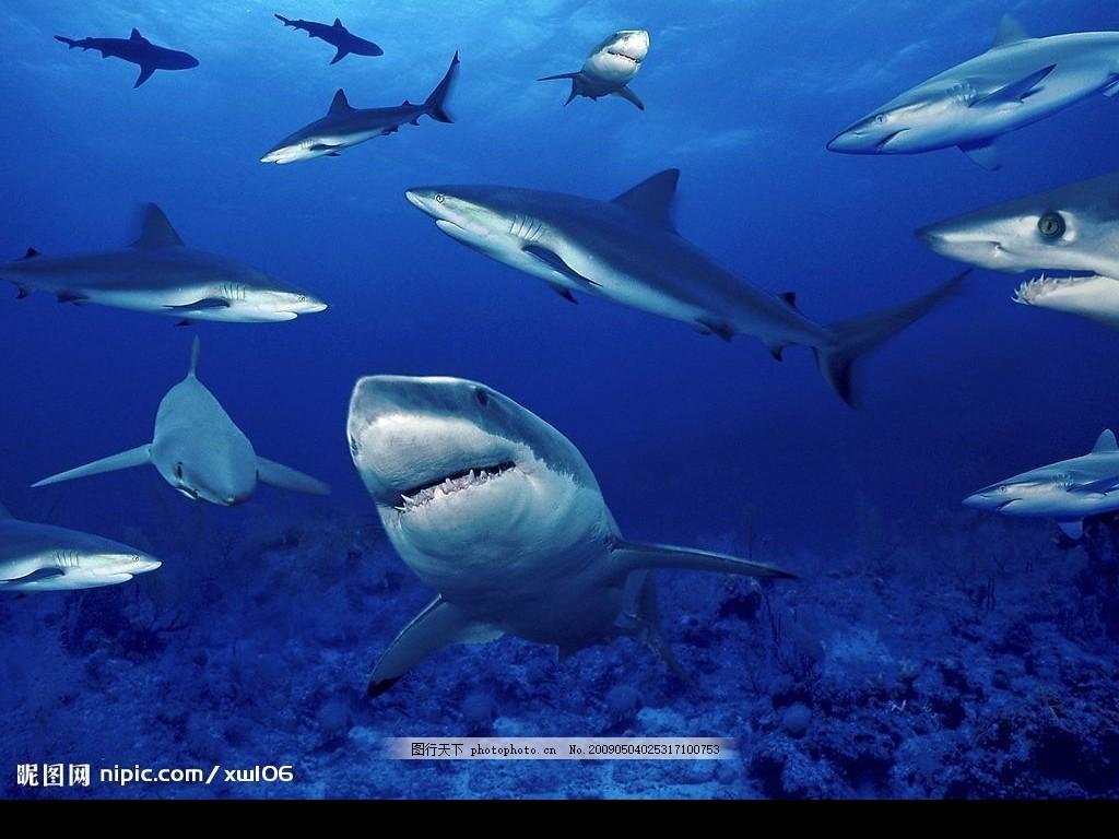 高清壁纸 海洋 鲨鱼 生物 其他 图片素材 摄影图库