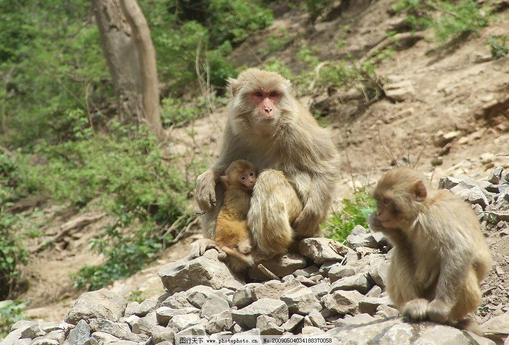 猴子 大自然 动物 母猴 小猴子 旅游摄影 自然风景 摄影图库 72dpi