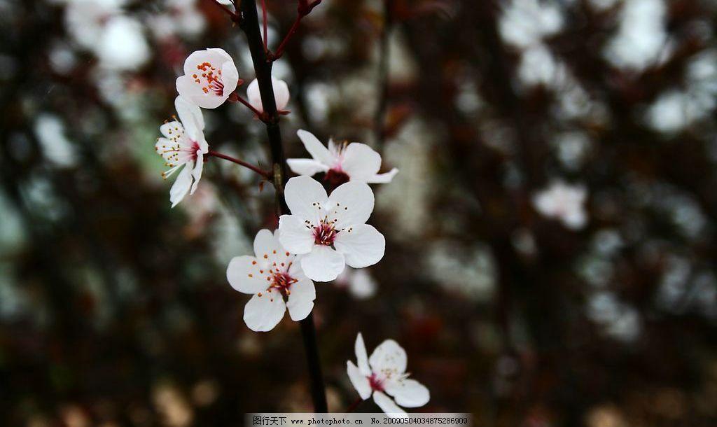 雪梨花 洁白的梨花 高清 自然景观 自然风景 摄影图库 72dpi jpg