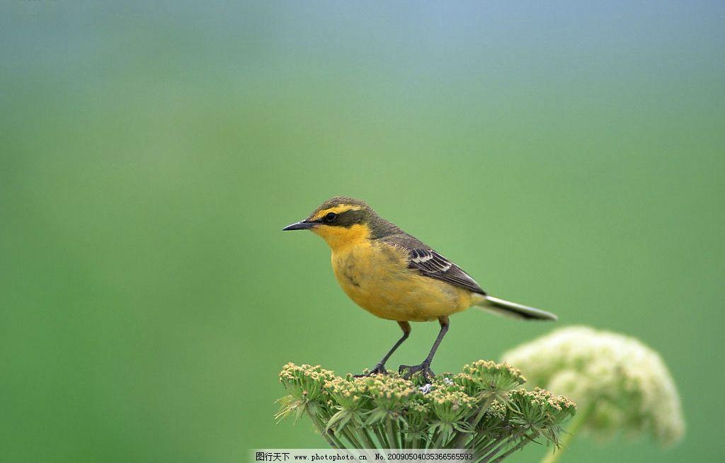 鸟类 小鸟 实物写真 动物 花草 背景素材 精品 生物世界 摄影图库 350