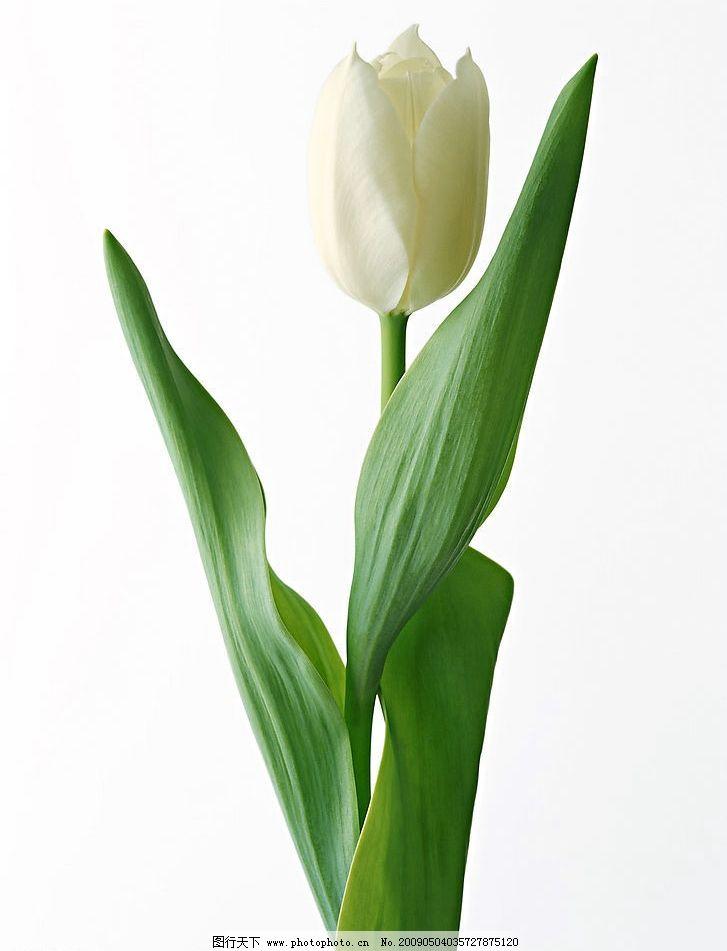 白色郁金香 单支白色郁金香