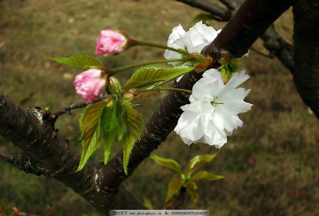 春天桃花图片