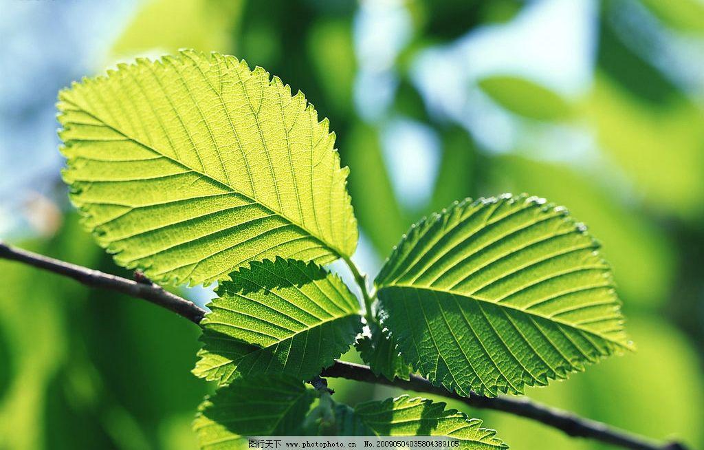 树叶 叶子 叶脉 绿色 自然 树枝 自然景观 自然风景 摄影图库
