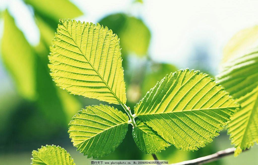 树叶 叶子 叶脉 绿色 自然 树枝 自然景观 自然风景 摄影图库 350dpi