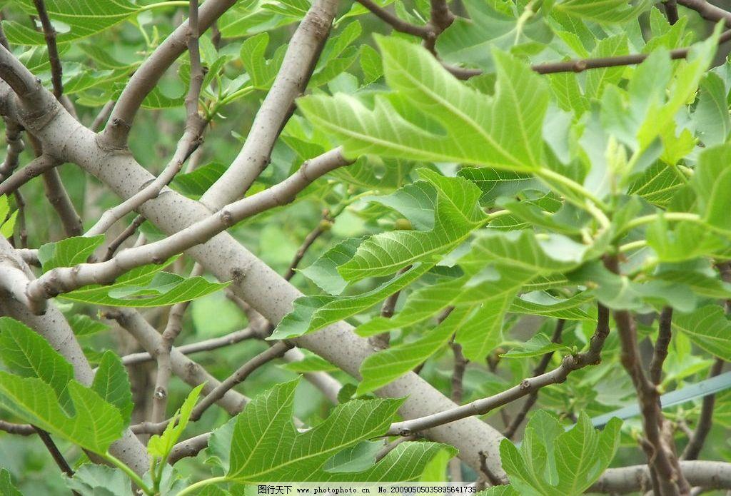 无花果树树叶图片