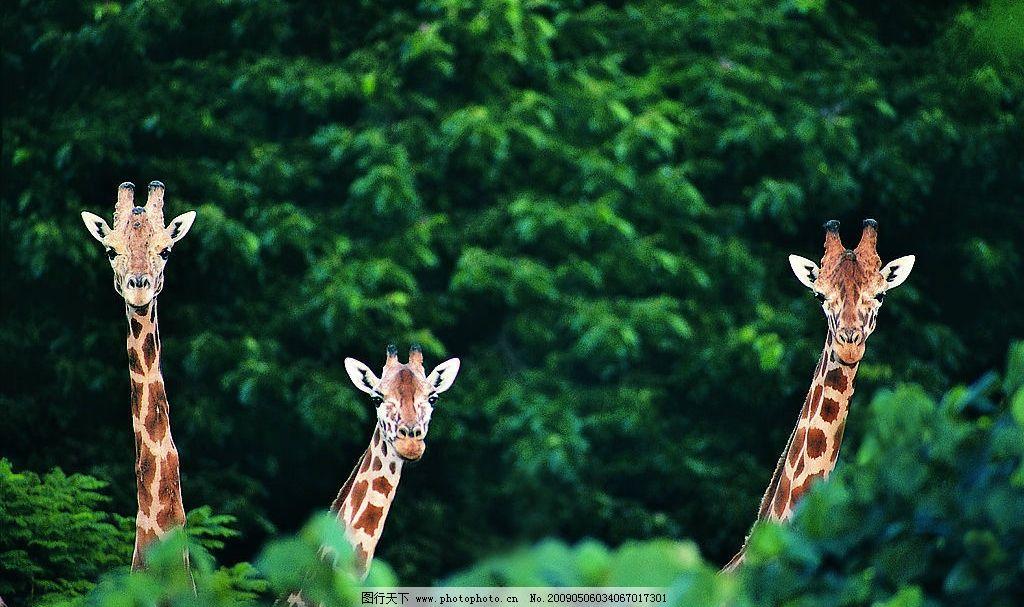 长颈鹿 树 自然 野外 户外
