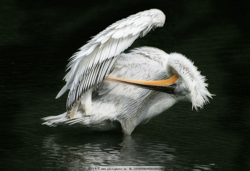 水鸟 长嘴鸟 水面 羽毛 翅膀 纯洁 自然 梳理羽毛 生物世界 野生动物