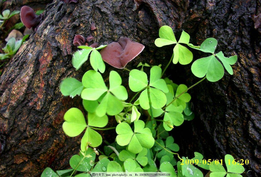 木耳植物四叶草壁纸-木耳植物