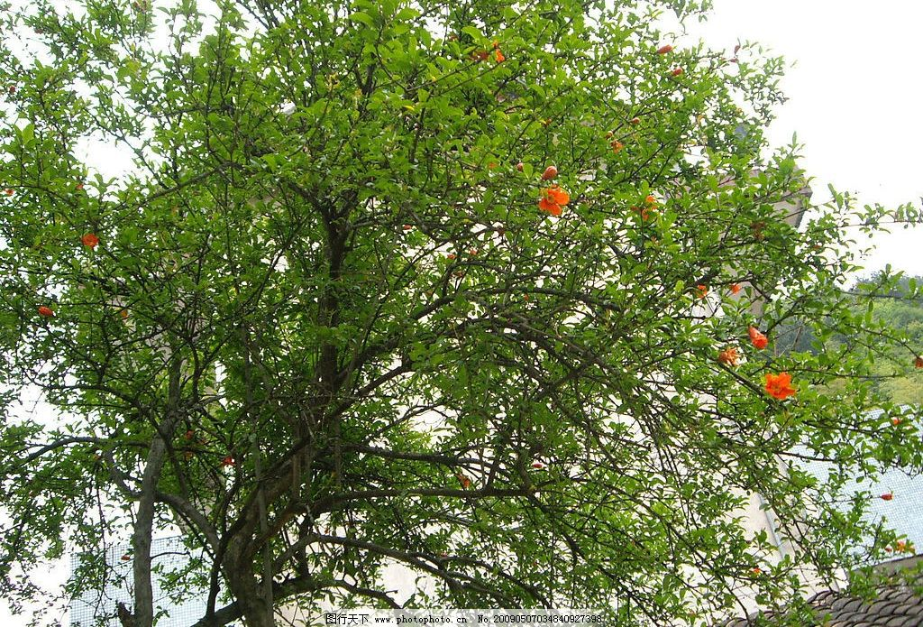 石榴 石榴树 石榴花 花 美丽 自然 春天 自然景观 自然风景 摄影图库