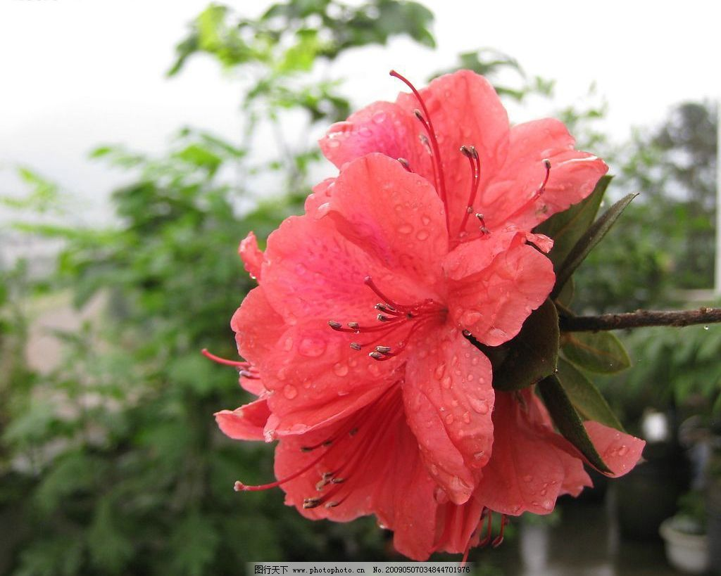 一枝独秀 红花 绿叶 杜鹃花 自然景观 自然风景 摄影图库 180dpi jpg