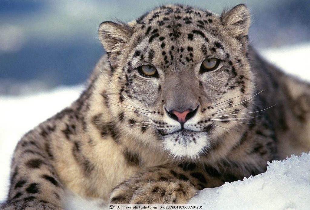 雪豹 生物世界 野生动物 摄影图库 90dpi jpg