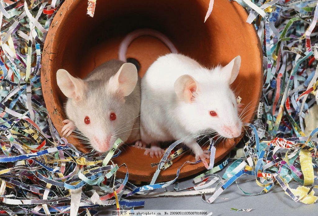 小老鼠 生物世界 野生动物 摄影图库
