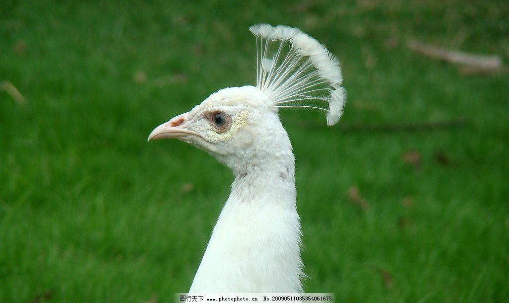 孔雀 白孔雀 自然景观 自然风景图片