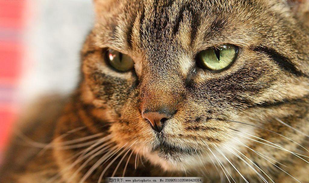 花猫摄影 微距 摄影 猫 高清 生物世界 家禽家畜 摄影图库 72dpi jpg