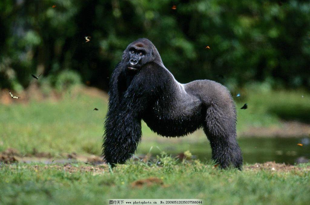 大猩猩 猩猩 金刚 健壮 主宰 丛林 非洲 生物世界 野生动物 摄影图库