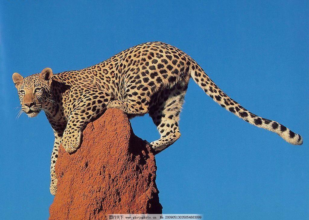豹子 动物世界 猫科动物 凶猛 猎食 观察 生物 摄影图库