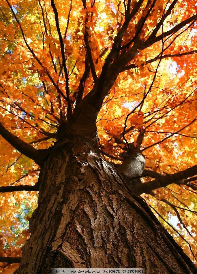 古木 秋天 秋季 季节 黄叶 枯叶 树干 大树 树叶 树皮 树枝