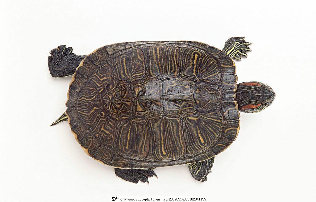 乌龟 爬行动物 水产 两栖 生物世界 其他 设计图库 350dpi jpg