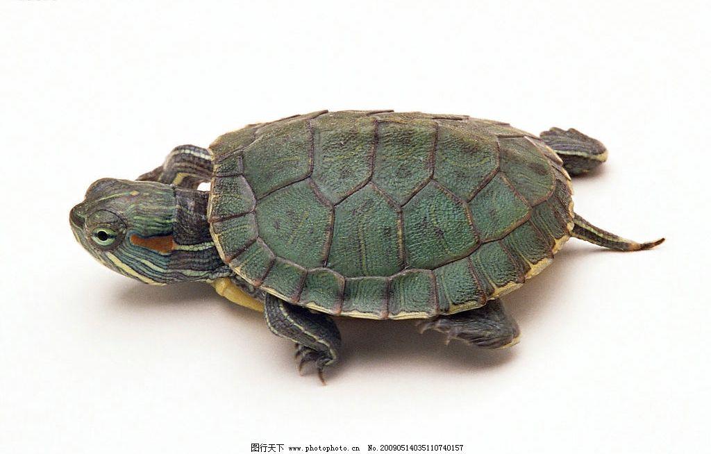 乌龟 爬行动物 水产 两栖 龟壳 其他
