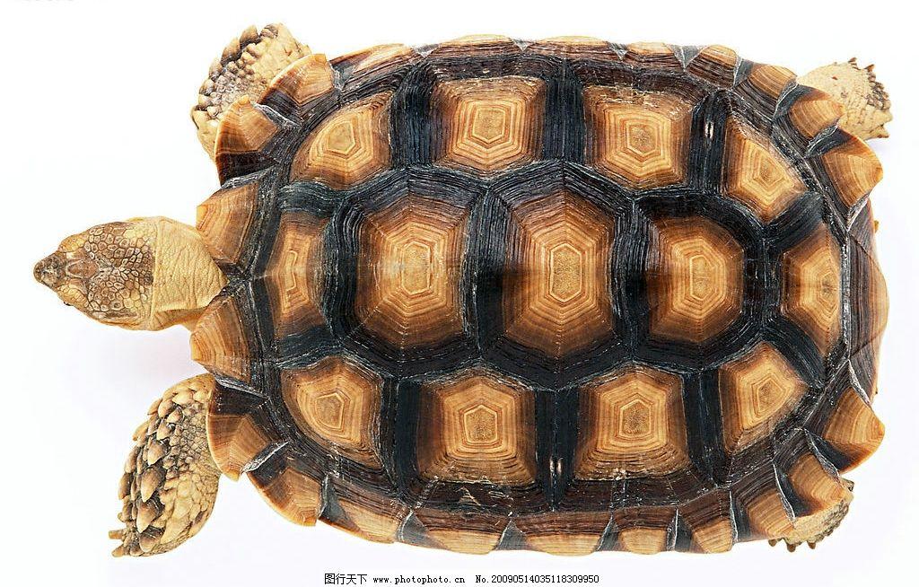 苏卡达陆龟 乌龟 爬行动物