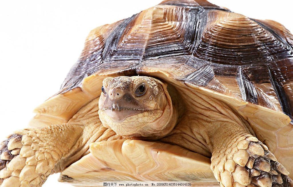 苏卡达陆龟 乌龟 爬行动物 生物世界 海洋生物 摄影图库 jpg