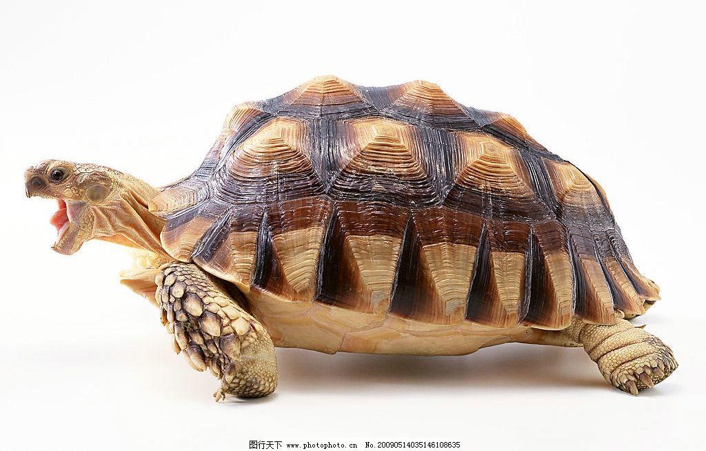 乌龟 爬行动物 水产 两栖 龟壳 生物世界 其他 设计图库 350dpi jpg