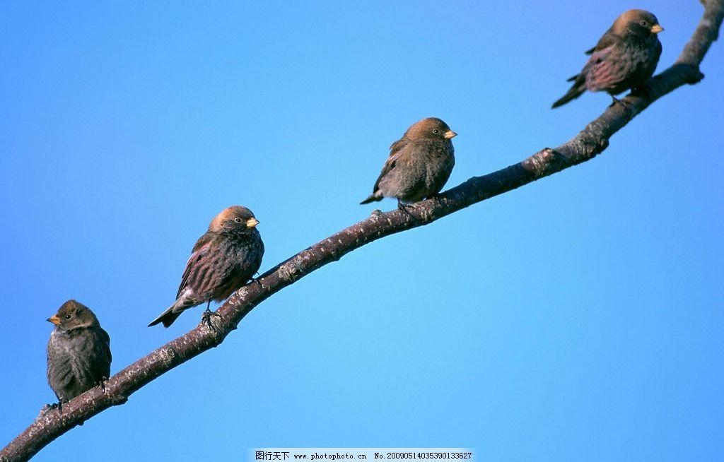 排队的小鸟 鸟类 树枝上的一排小鸟 天空 动物 野生动物 生物世界