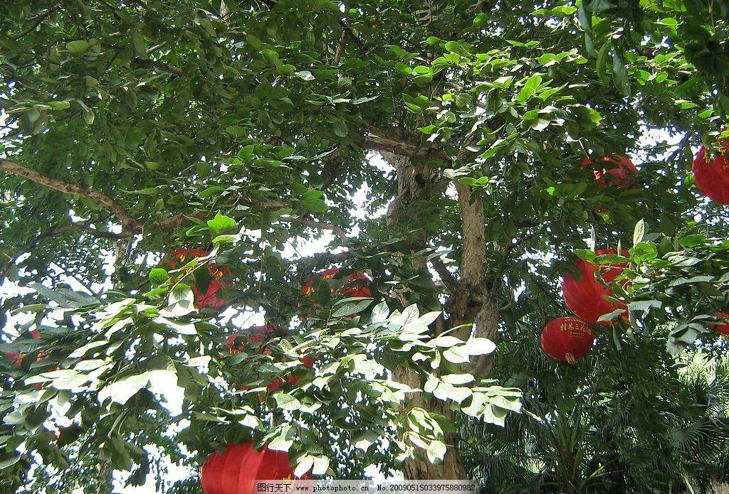 桂花树 三花酒 桂林 椰子树 树叶 树枝      天空 灯笼 旅游摄影 国内
