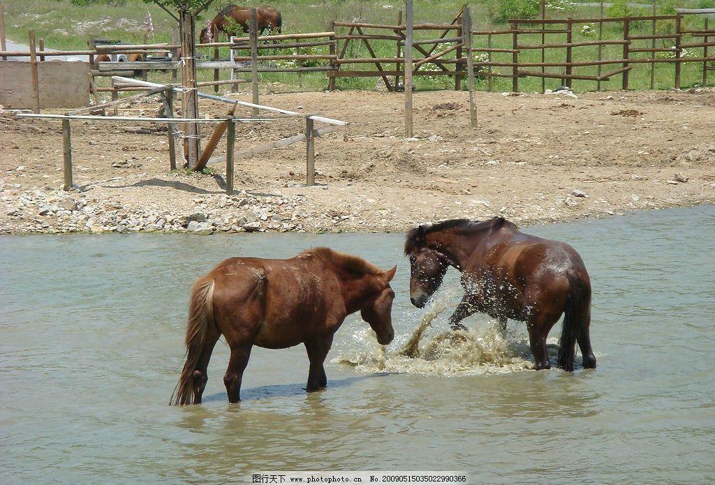 两马戏水 马 骏马 戏水 生物世界 野生动物 摄影图库 72dpi jpg