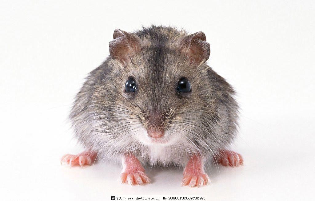 老鼠图片_野生动物_生物世界