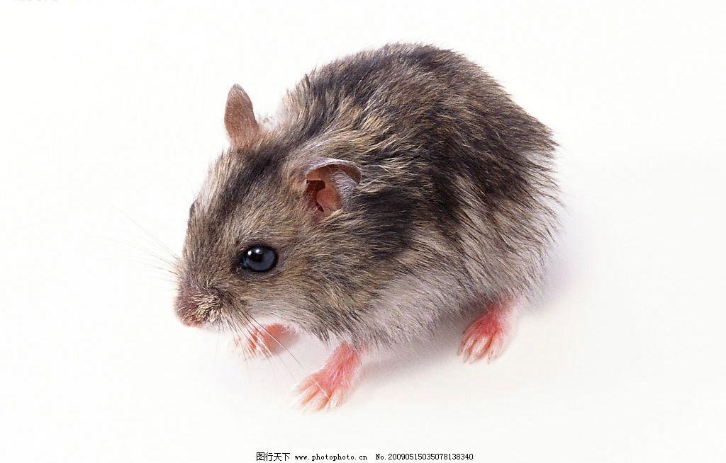 老鼠 宠物鼠 可爱 宠物 机灵 小动物 生物世界 其他 设计图库 350dpi