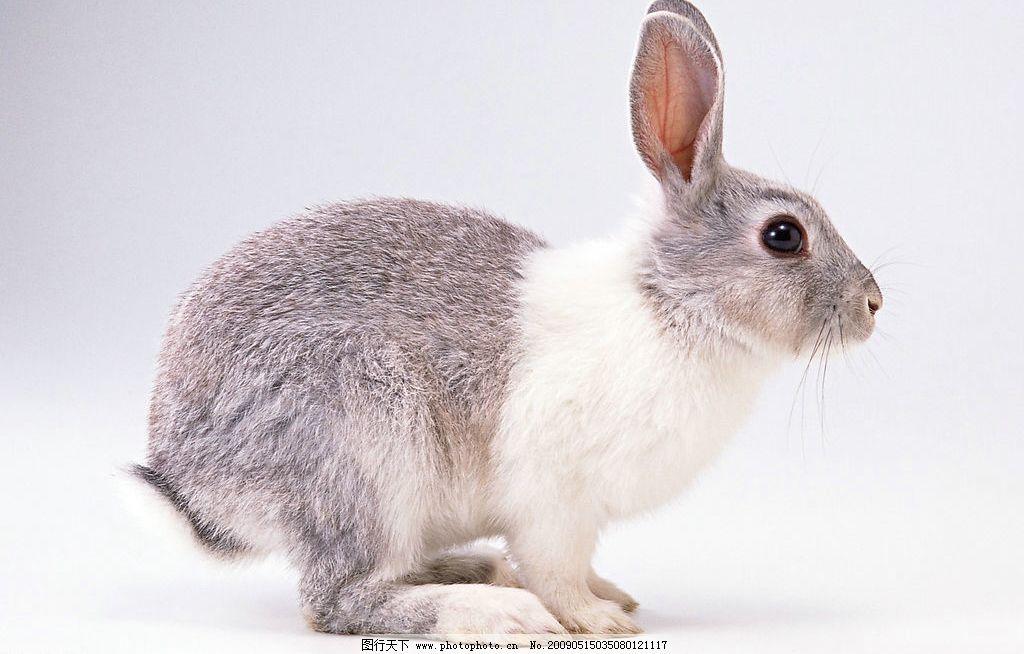 兔子 灰兔 灰色 可爱 宠物