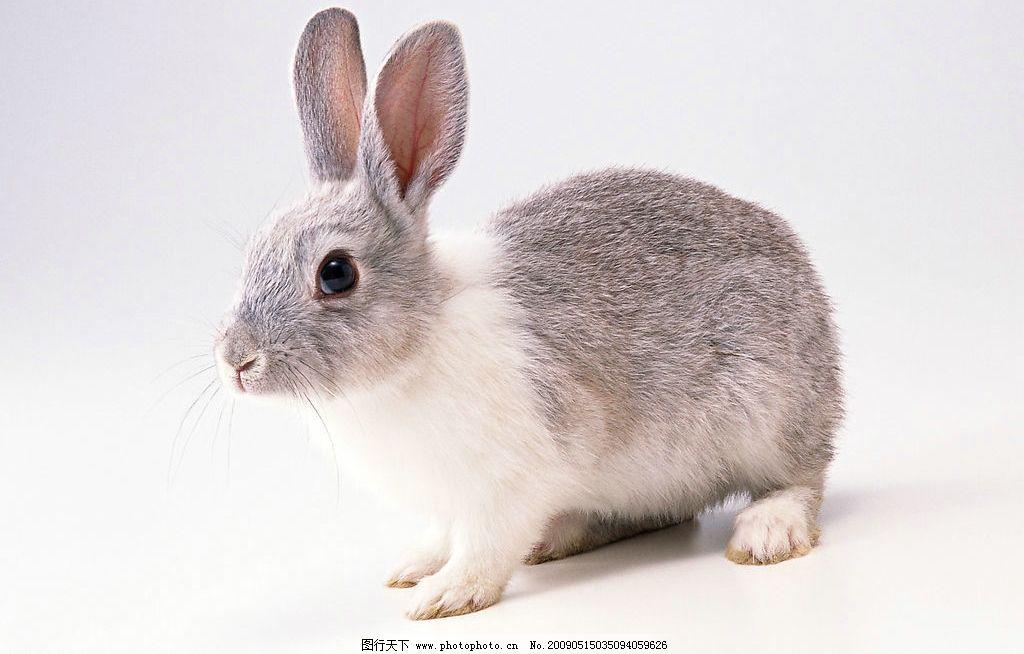 兔子 灰兔 灰色 可爱 宠物 机灵 长耳朵 小动物 生物世界 其他 设计