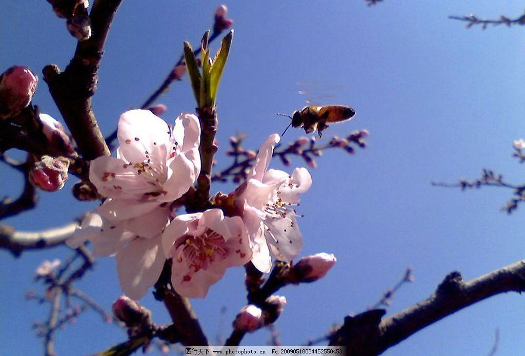 自然 春天 桃花 蓝天 花蕾 自然景观 山水风景 摄影图库 100dpi jpg