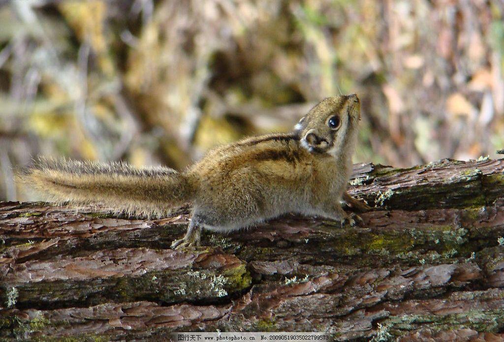 小动物 小松鼠 生物世界 野生动物 摄影图库 72dpi jpg