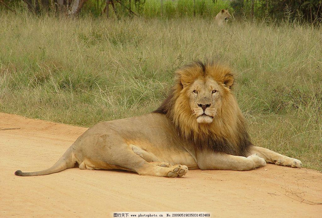 狮子 雄狮 卧狮 动物 肉食动物 生物世界 野生动物 摄影图库