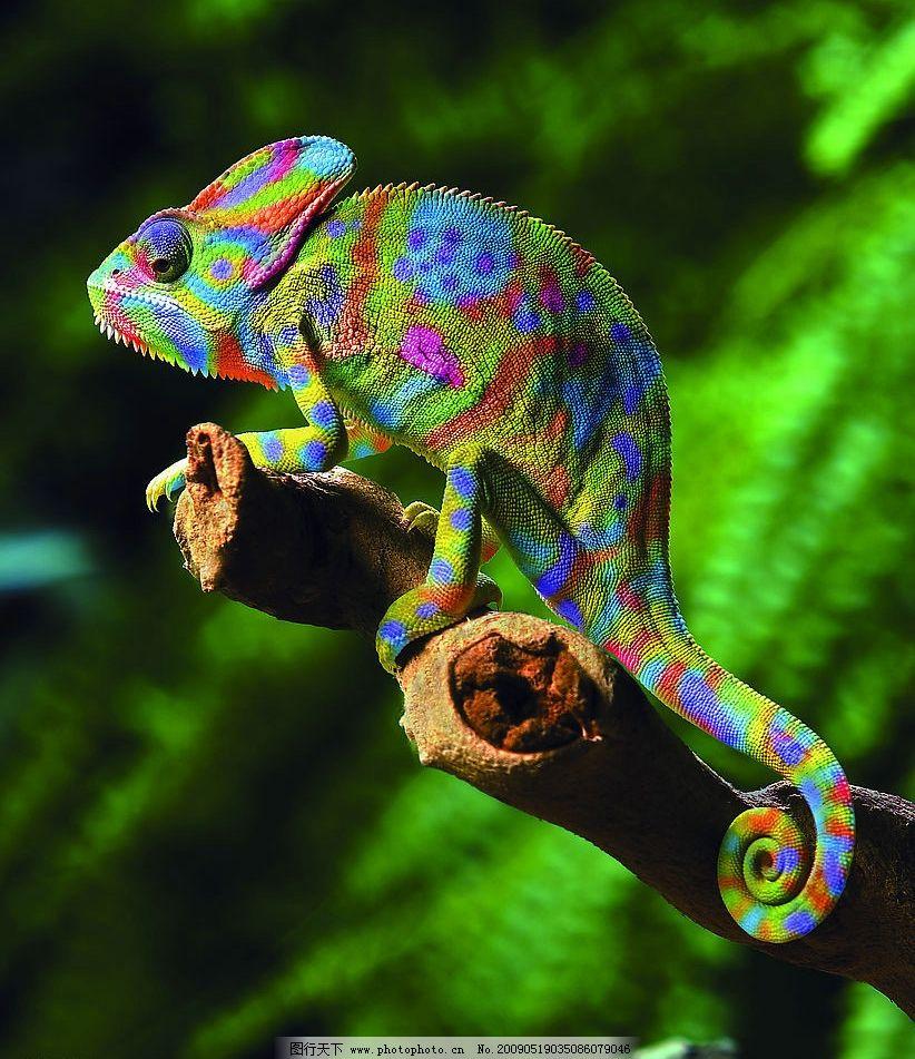 变色龙 龙 稀有动物 高精图片 超大 生物世界 野生动物 摄影图库 150