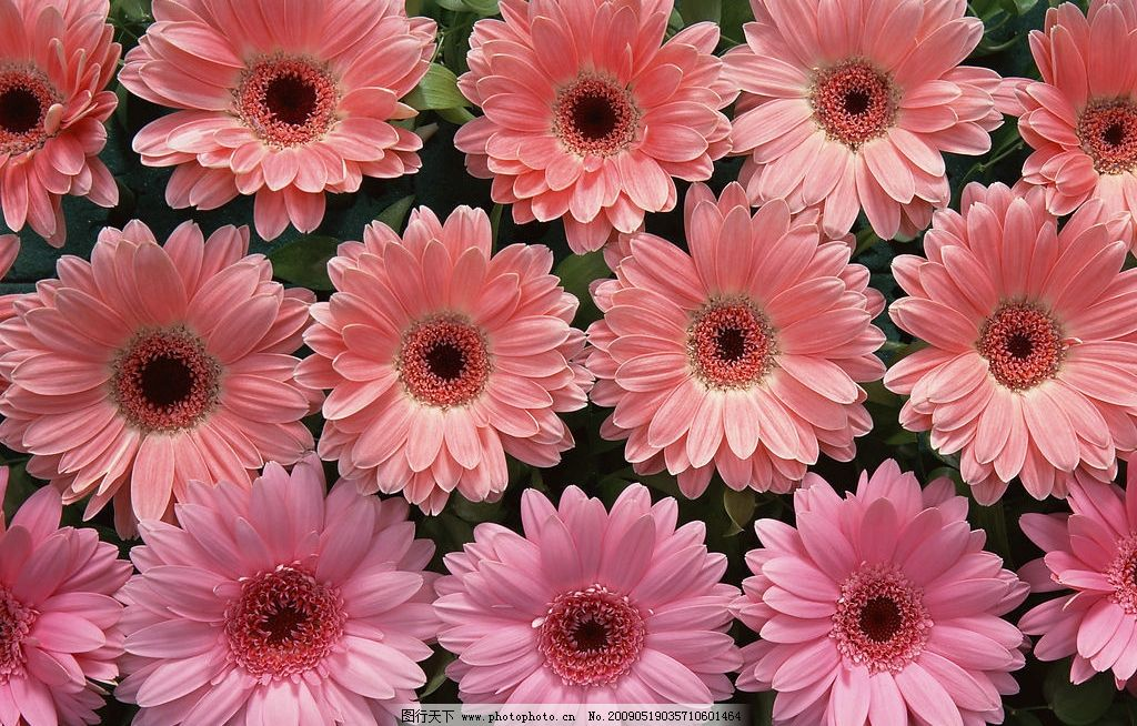 粉色波斯菊 粉红色 旅游摄影 自然风景 摄影图库